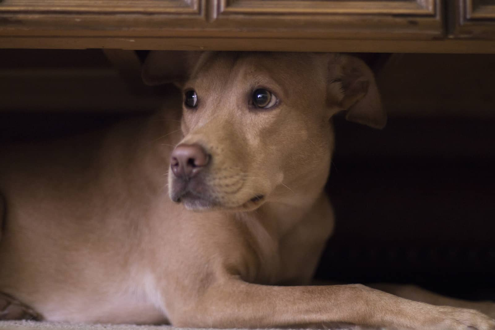 Hund versteckt sich unter dem Couchtisch vor Donner draußen