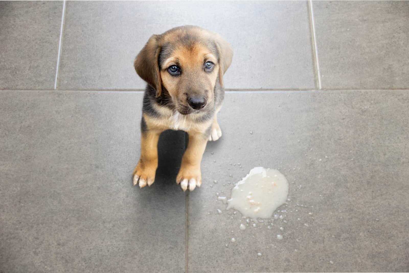 Hundekot im Wohnzimmer auf dem Boden