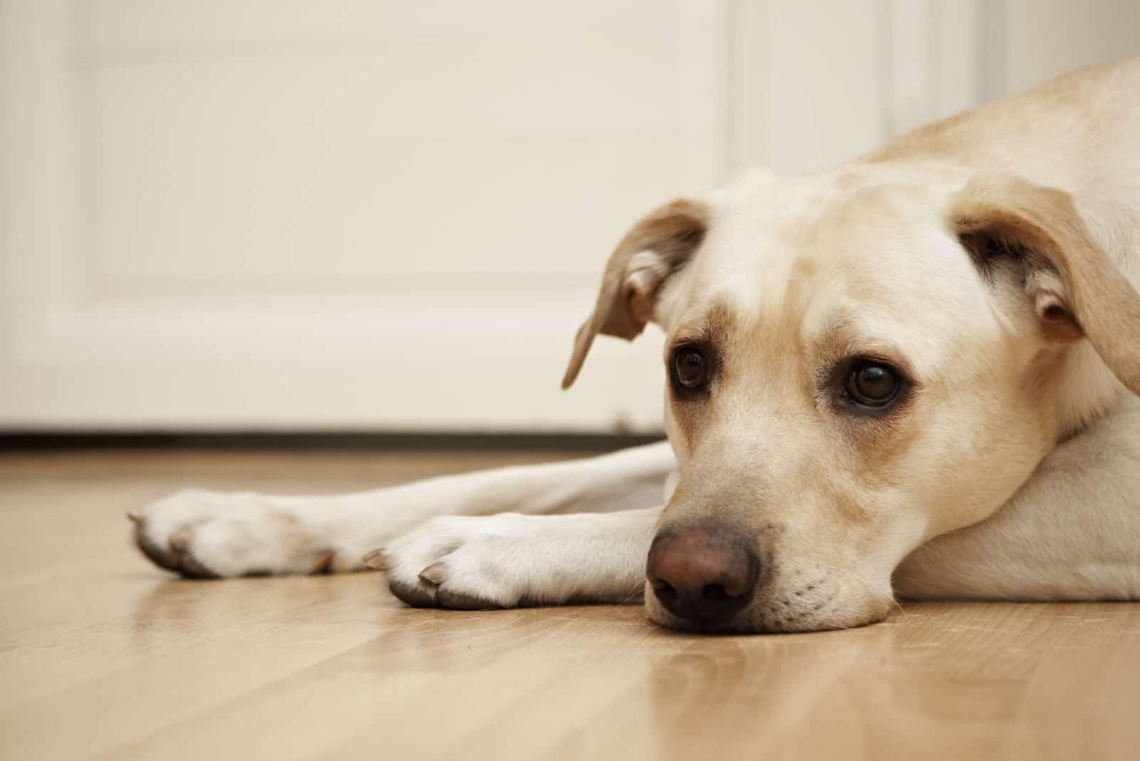 Labrador Retriever liegt auf dem Boden