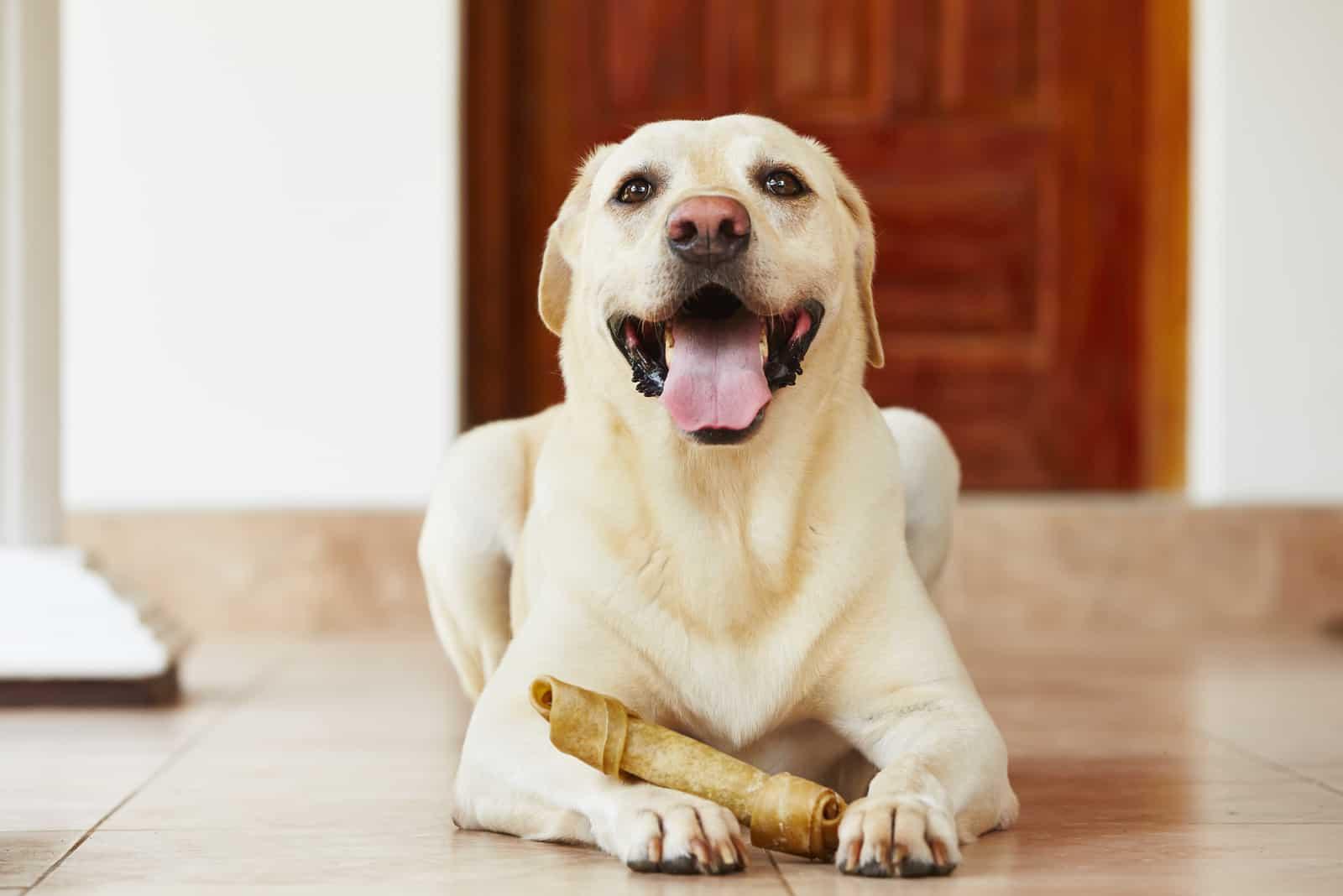 Labrador Retriever mit Knochen wartet zu Hause