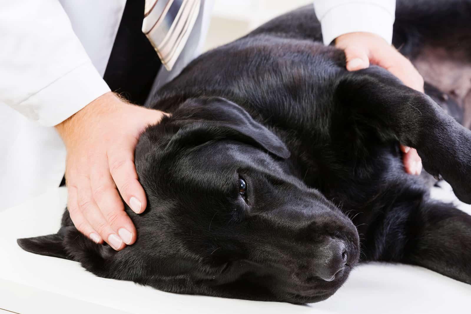 Labrador liegt auf dem Tisch und wird vom Tierarzt untersucht