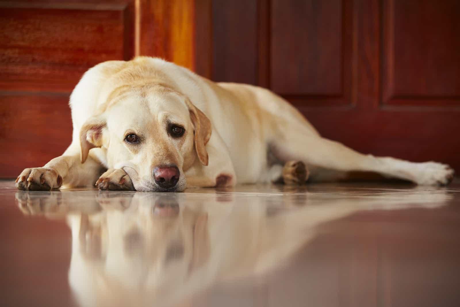 Labrador retriever is lying on door of the house