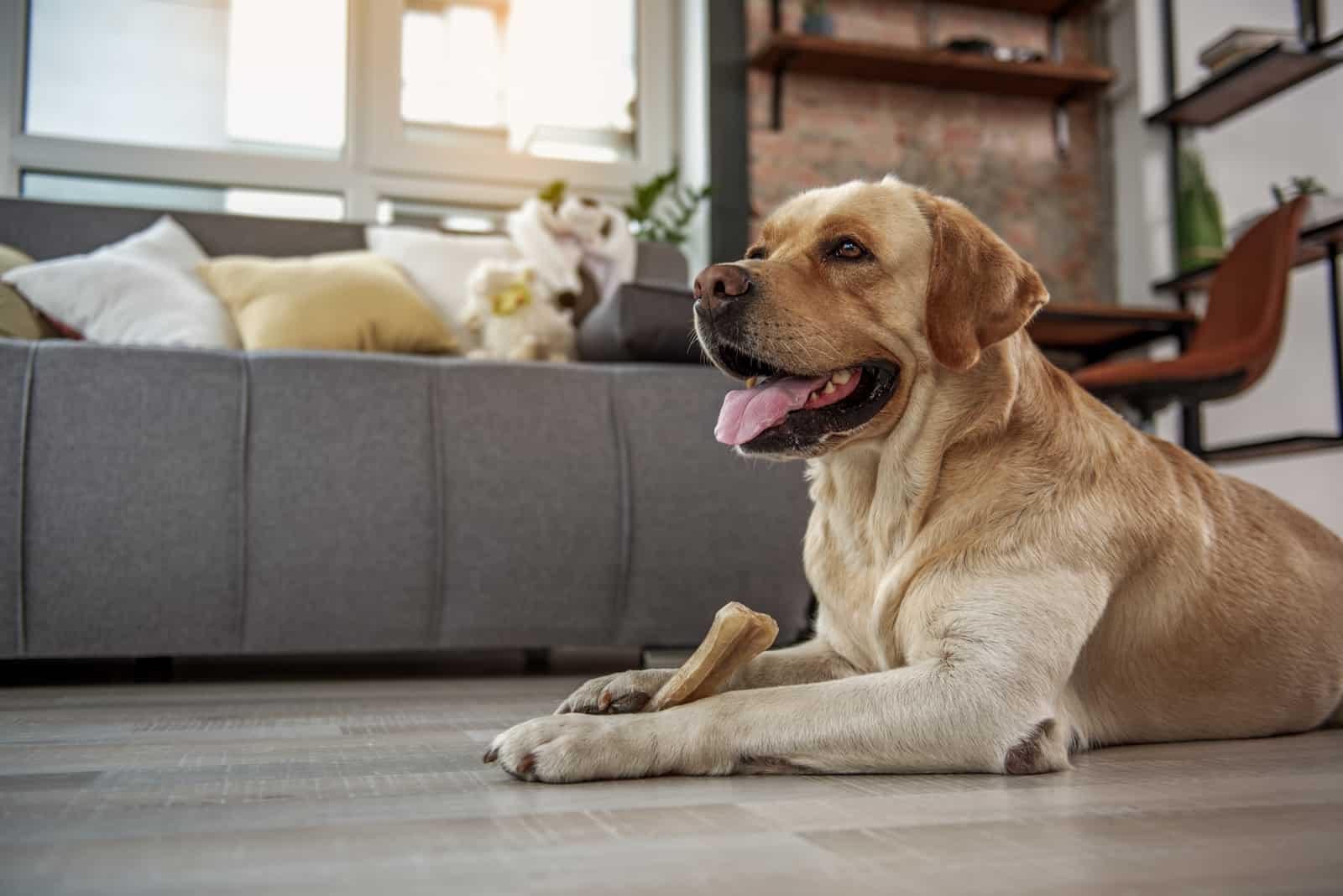 Lustiger Hund, der appetitlichen Genuss isst
