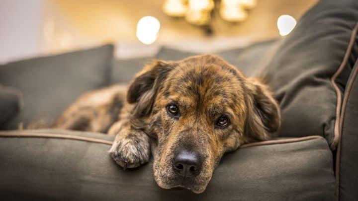 Der traurige Hund liegt auf dem Sofa