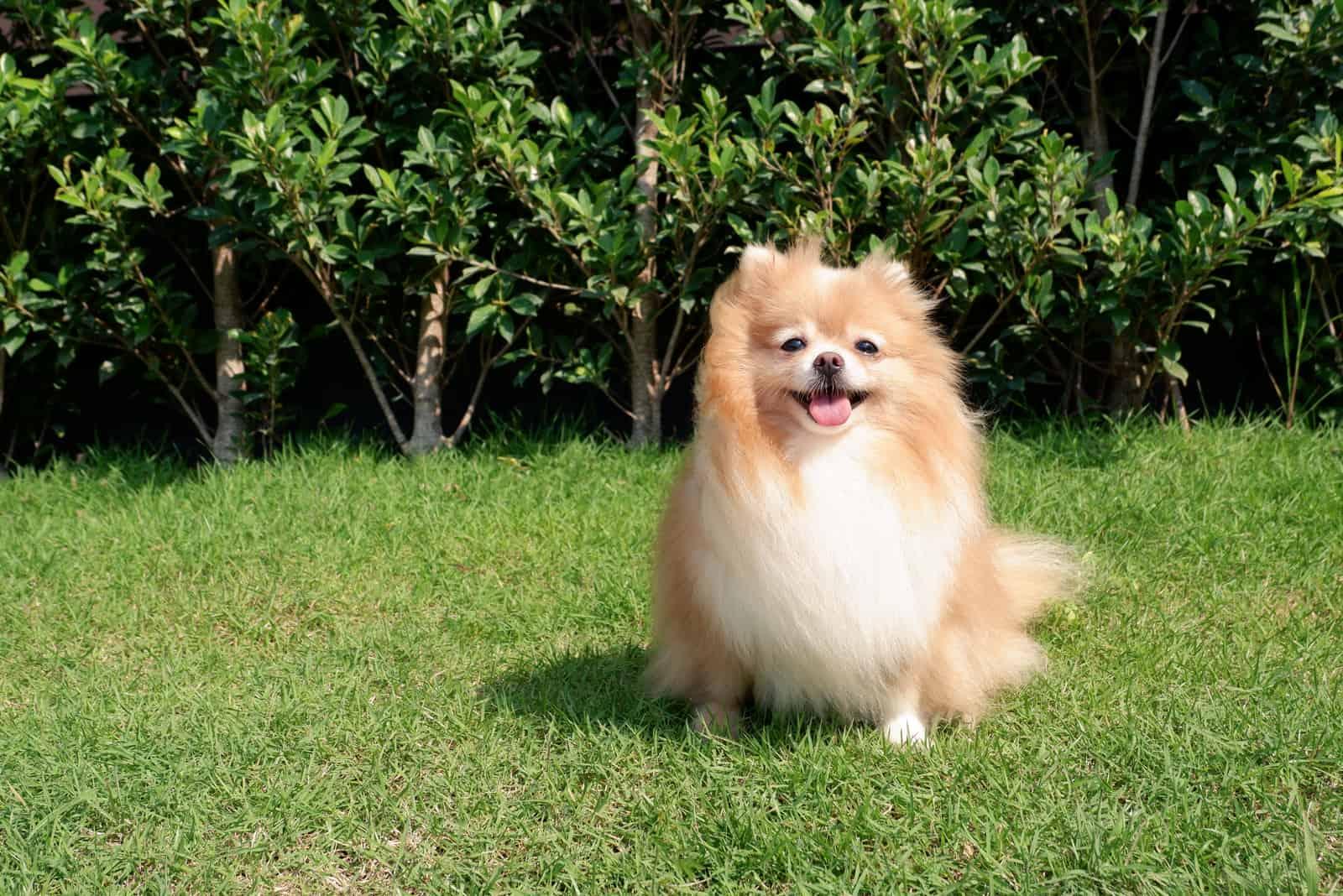 Netter pommerscher weiblicher Hund, der auf grünem Gras sitzt