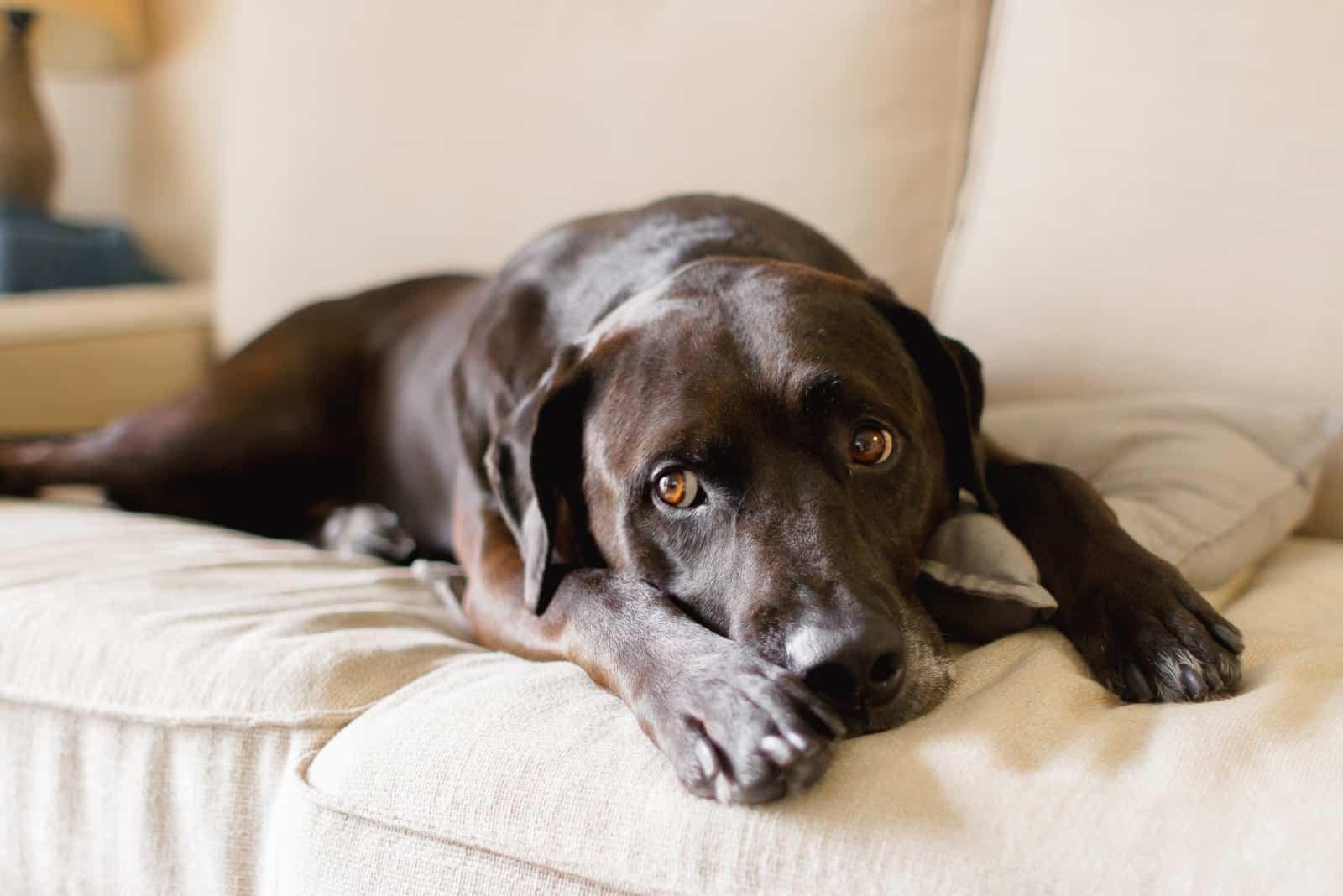 Porträt eines braunen Labrador Retriever Mix für Erwachsene