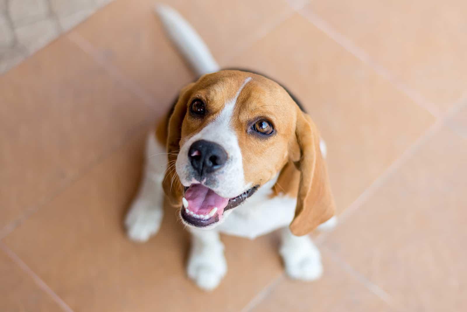Porträt niedlichen Beagle-Welpenhund, der nach oben schaut