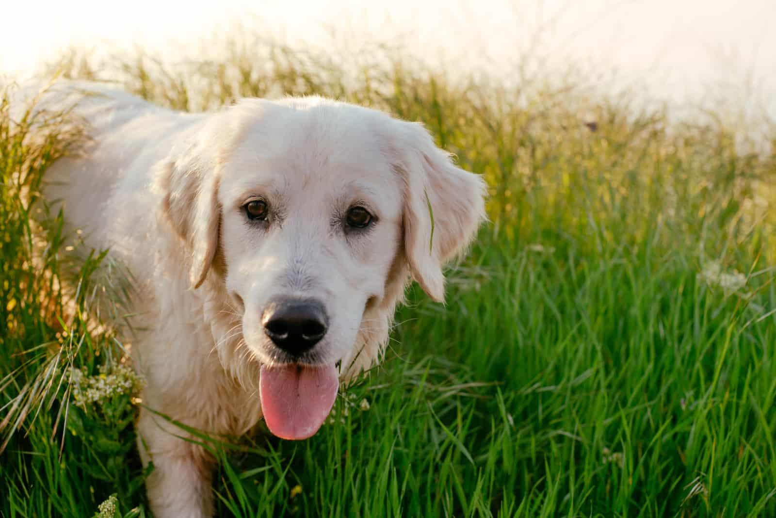 Porträt eines Labrador Retrievers in hohem dichtem Gras