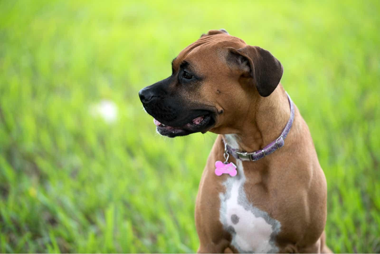 Schöner brauner weiblicher Boxerhund