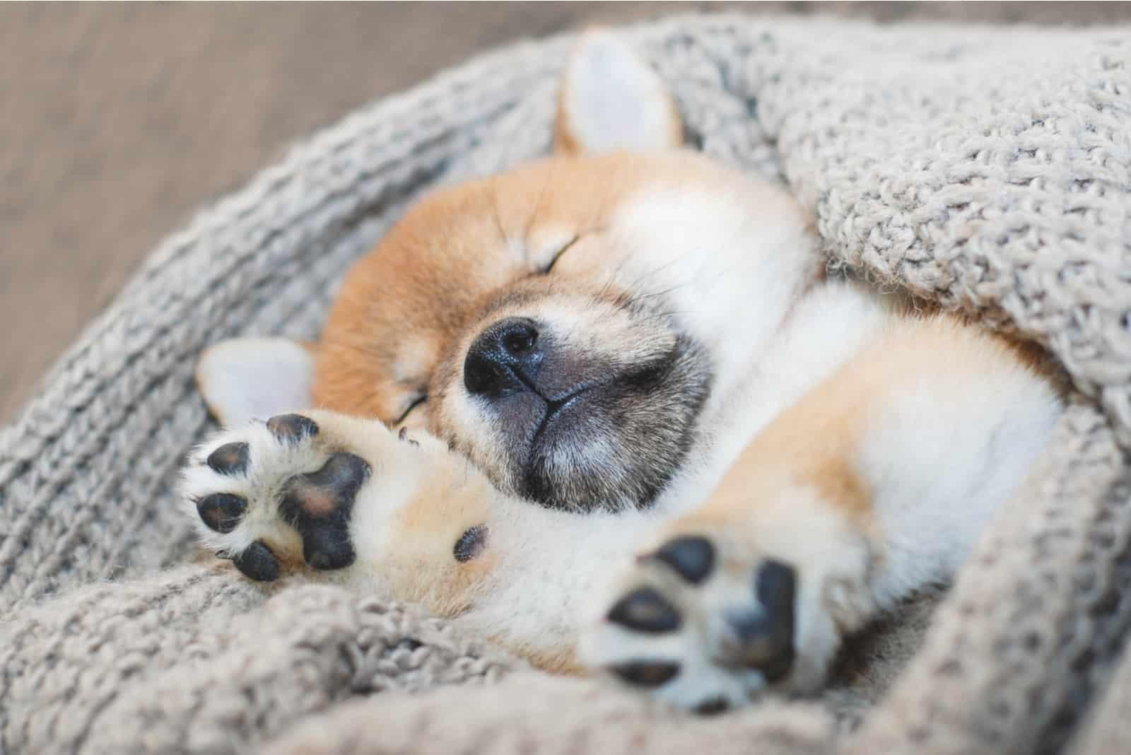 Shiba Inu Welpe schläft
