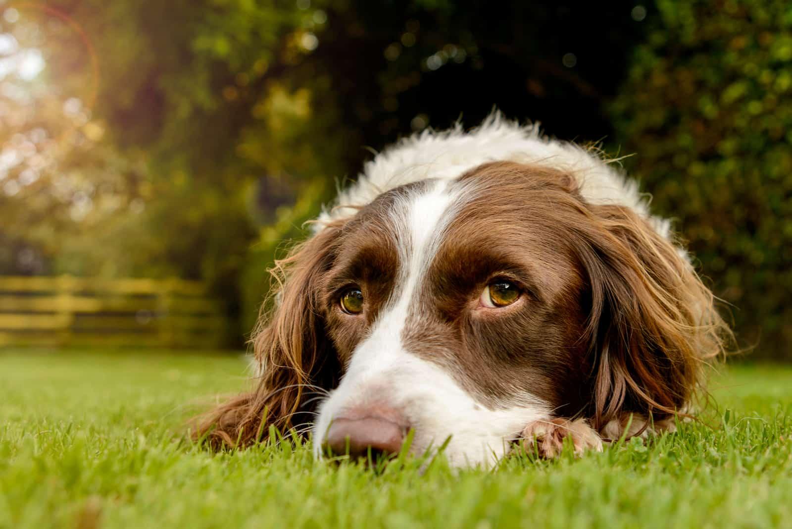 Springer Spaniel Hund, der im Gras liegt