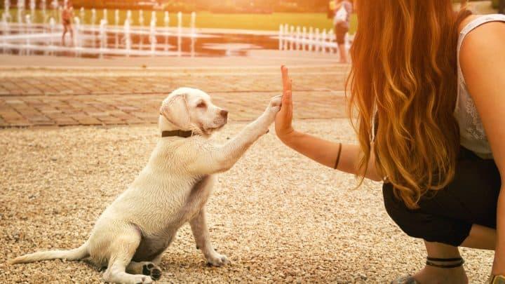 Der weiße Welpe gibt dem Besitzer eine Pfote