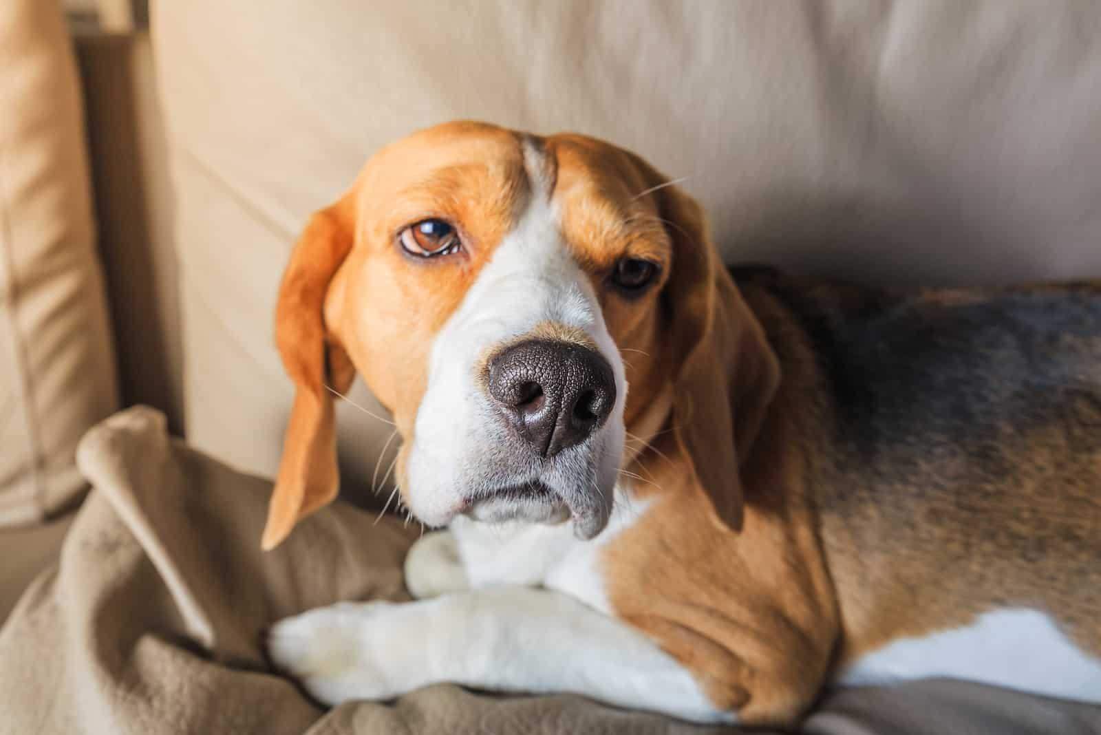 Trauriger müder Beagle-Hund auf Sofa