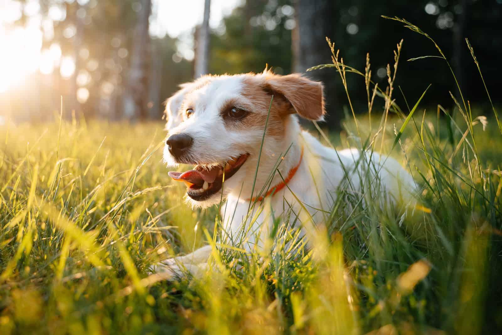 Welpe Jack Russell geht morgens im dichten tiefen Gras spazieren