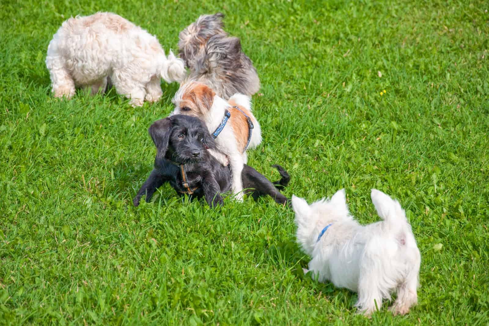 Welpen spielen in der Hundeschule