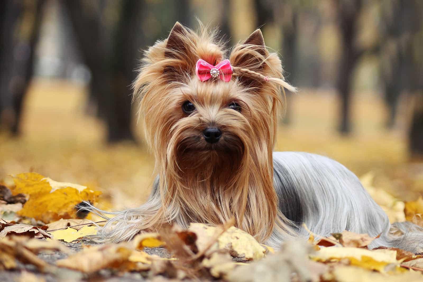 Yorkshire Terrier im goldenen Herbst