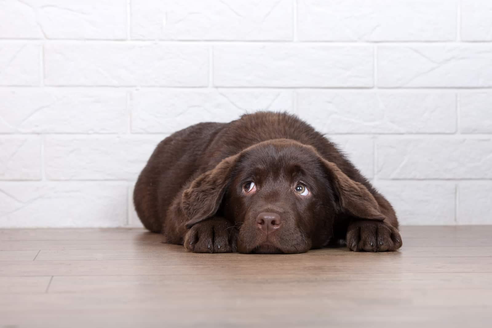 ängstlicher brauner Labradorwelpe, der auf dem Boden liegt