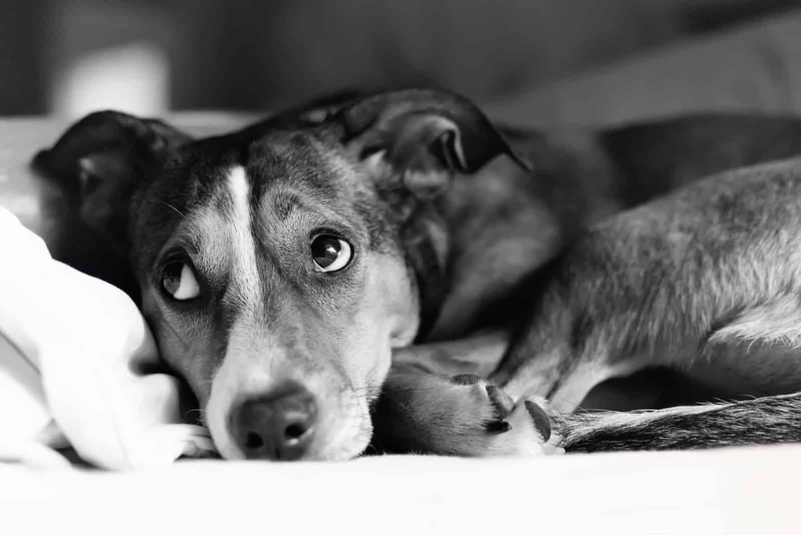 ängstlicher Hund, der alleine liegt
