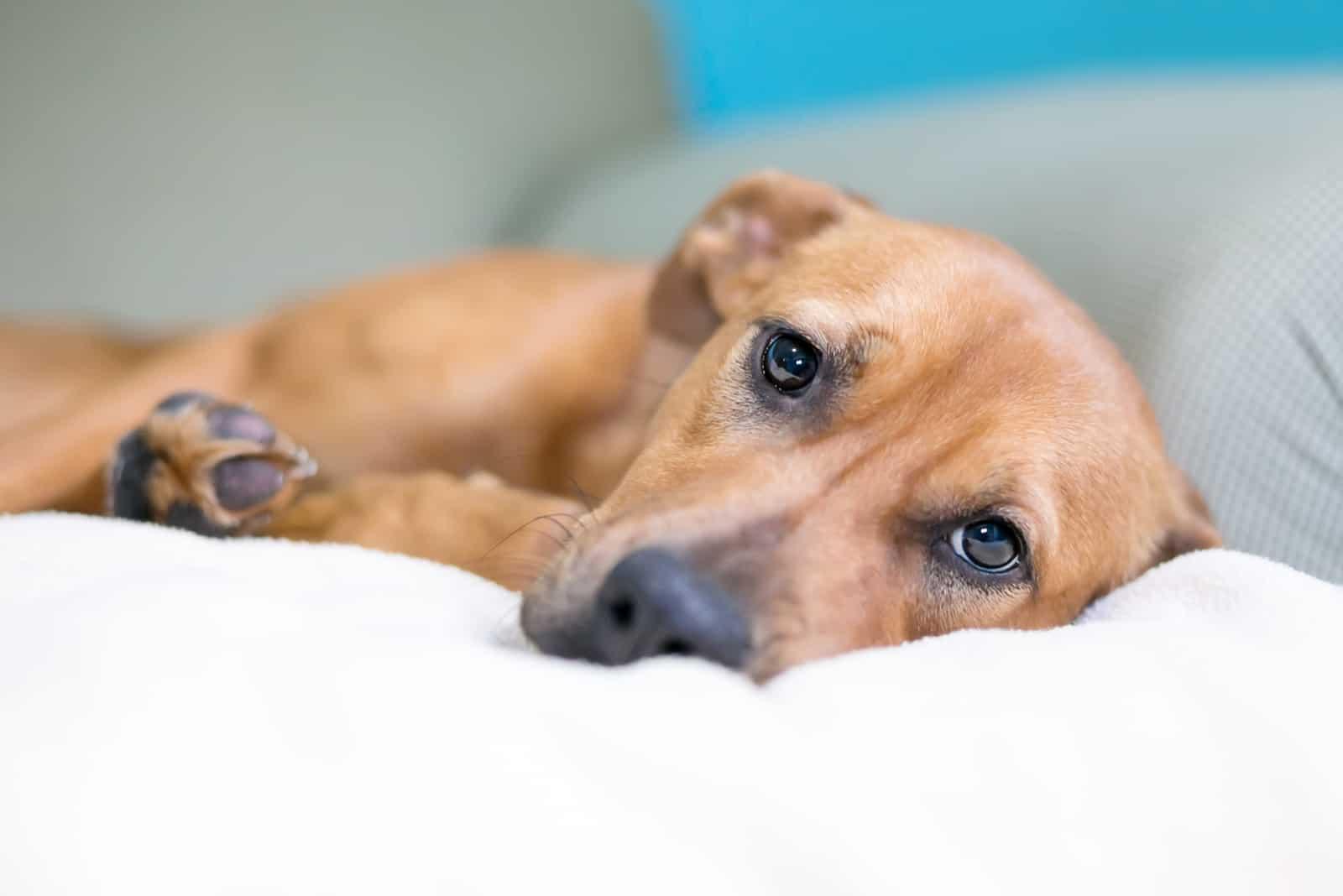 brauner Mischlingshund mit einem traurigen Ausdruck
