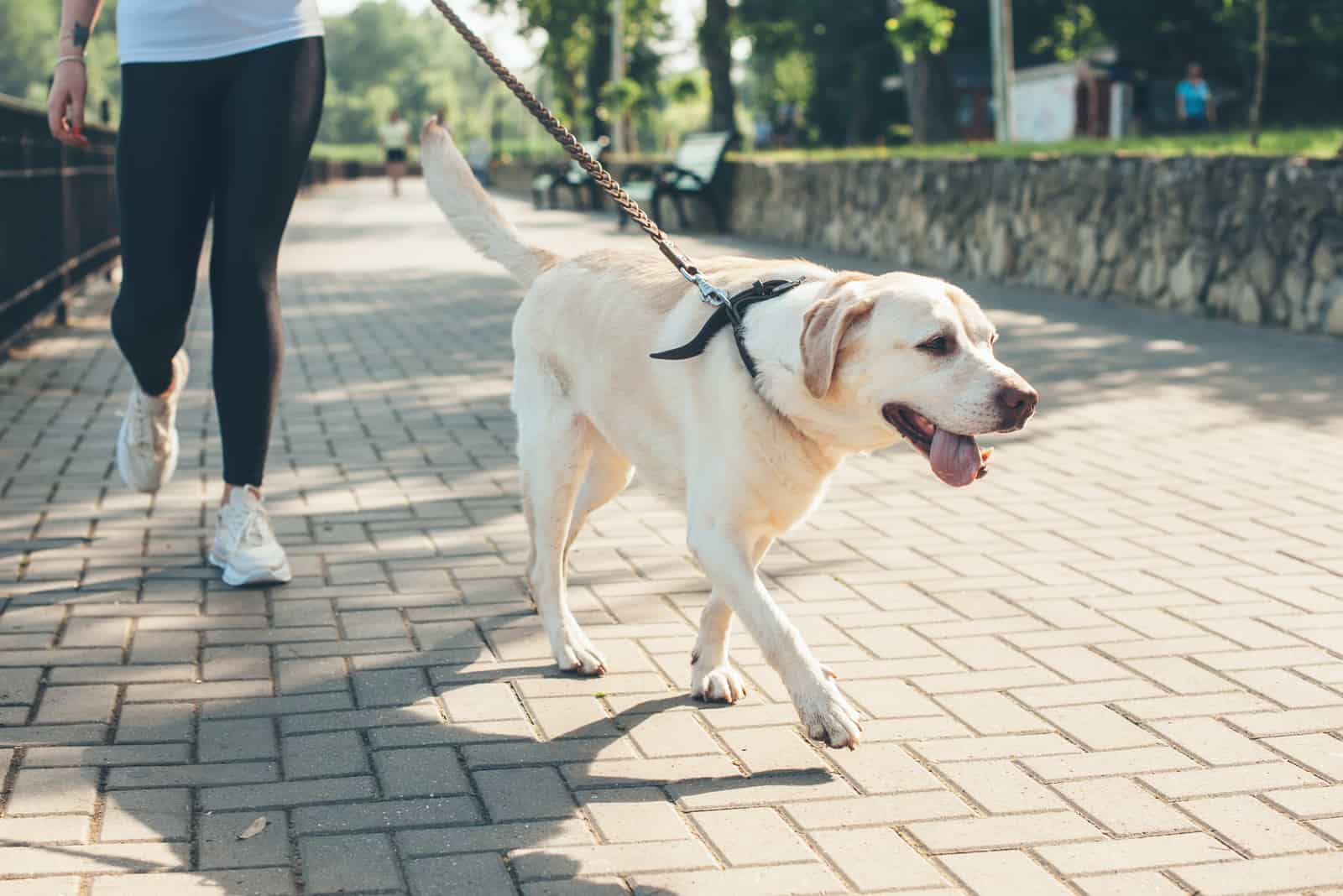 der Besitzer auf einem Spaziergang mit seinem Labrador