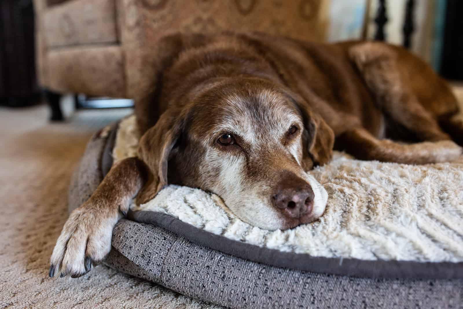 ein müder alter Hund, der auf seiner Matte liegt