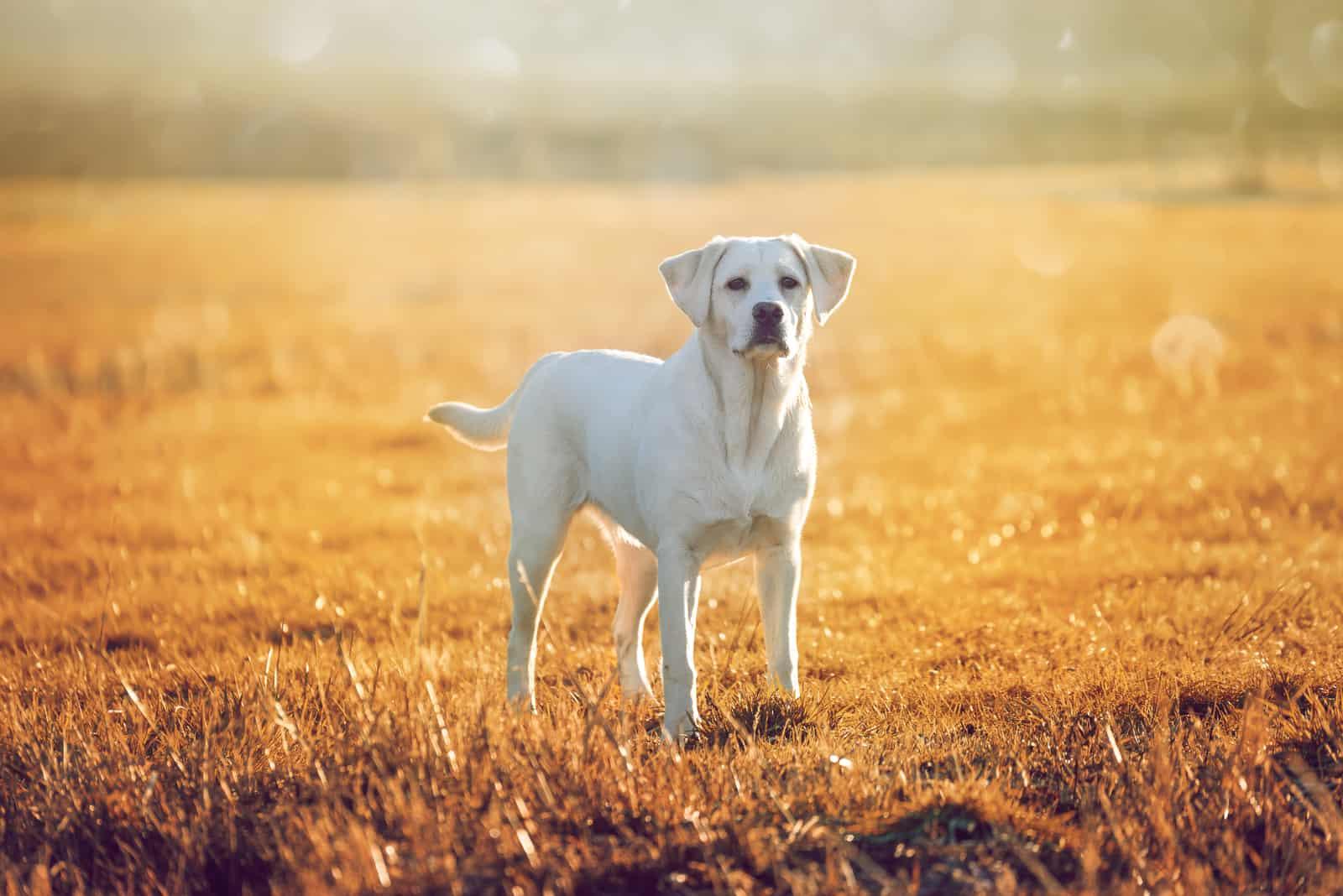 junger Labrador Retriever Hund auf einem goldenen Feld in der Sonne