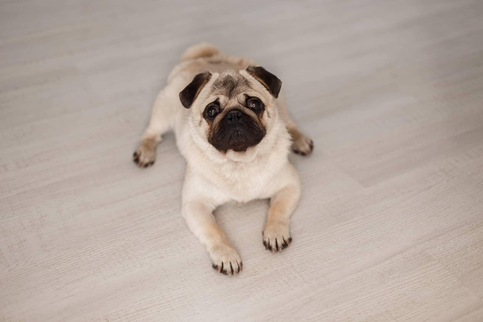 pug Hund auf dem Holzboden liegen