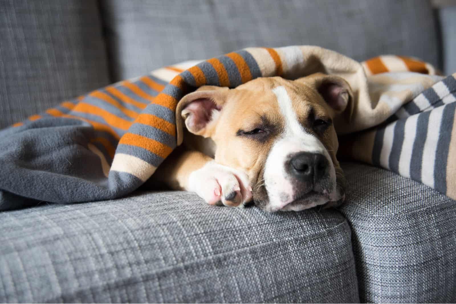 Bulldog Mix Welpe schläft zu Hause auf grauem Sofa