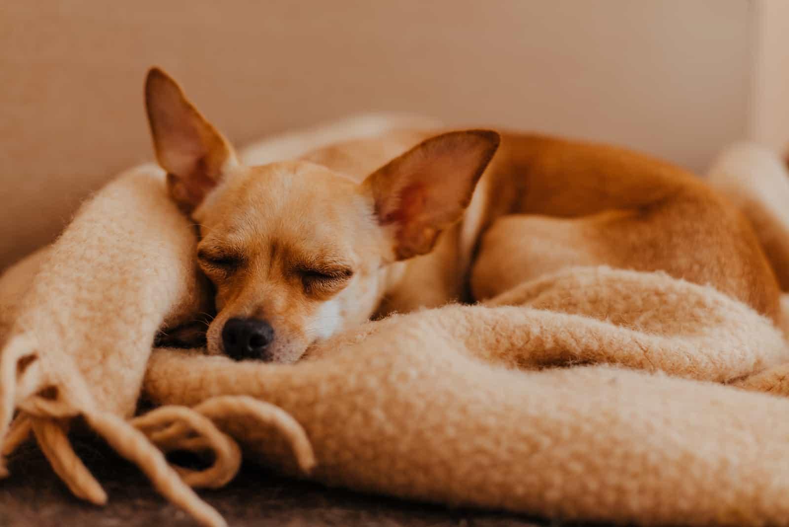 Hund schläft in Wolle gemütlich kariert zu Hause