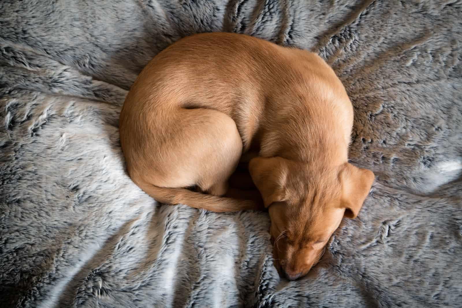 Labrador Welpe schläft auf bequemem Bett
