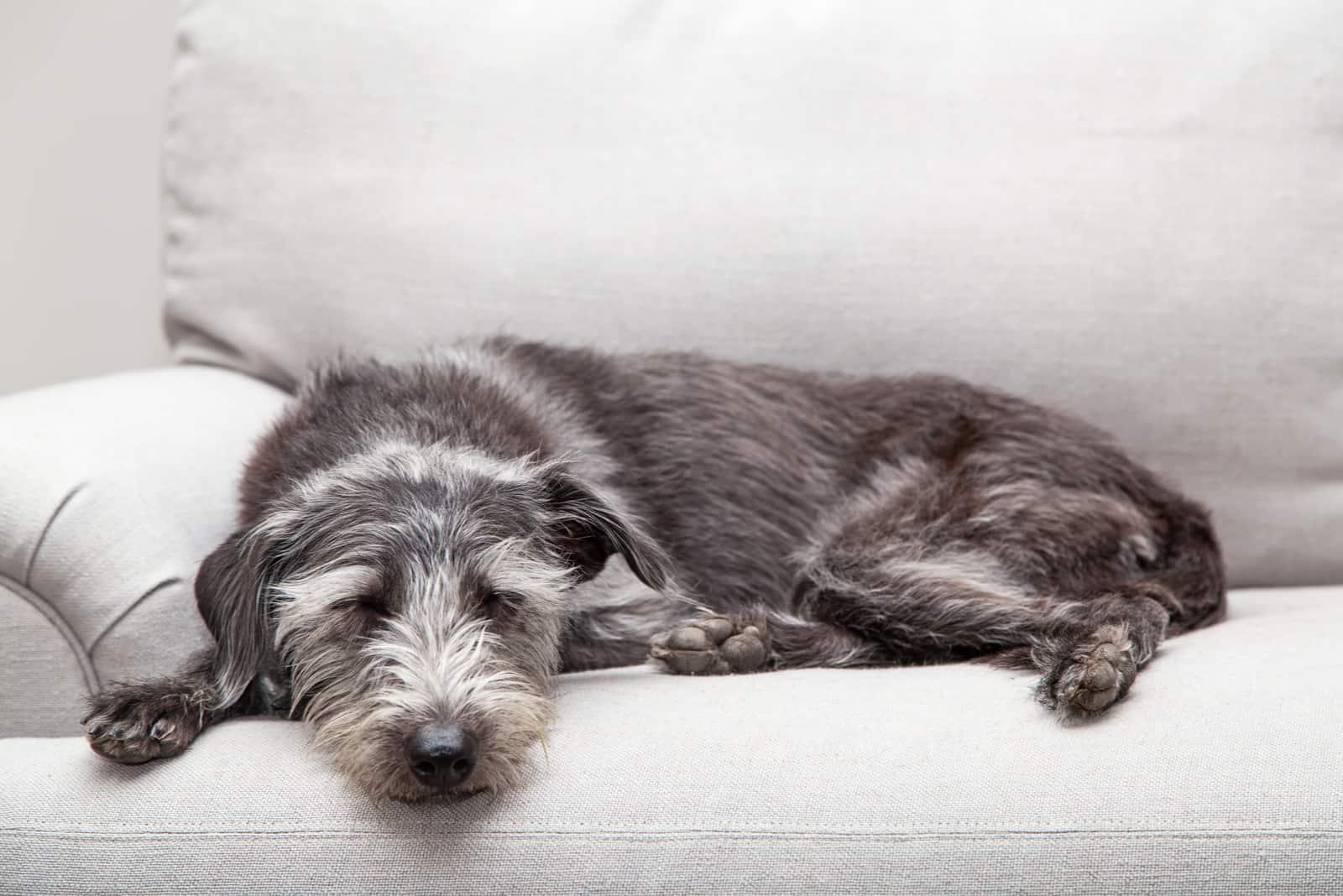Mischling mittelgroßer grauer Hund, der auf einer neutralen Farbcouch liegt