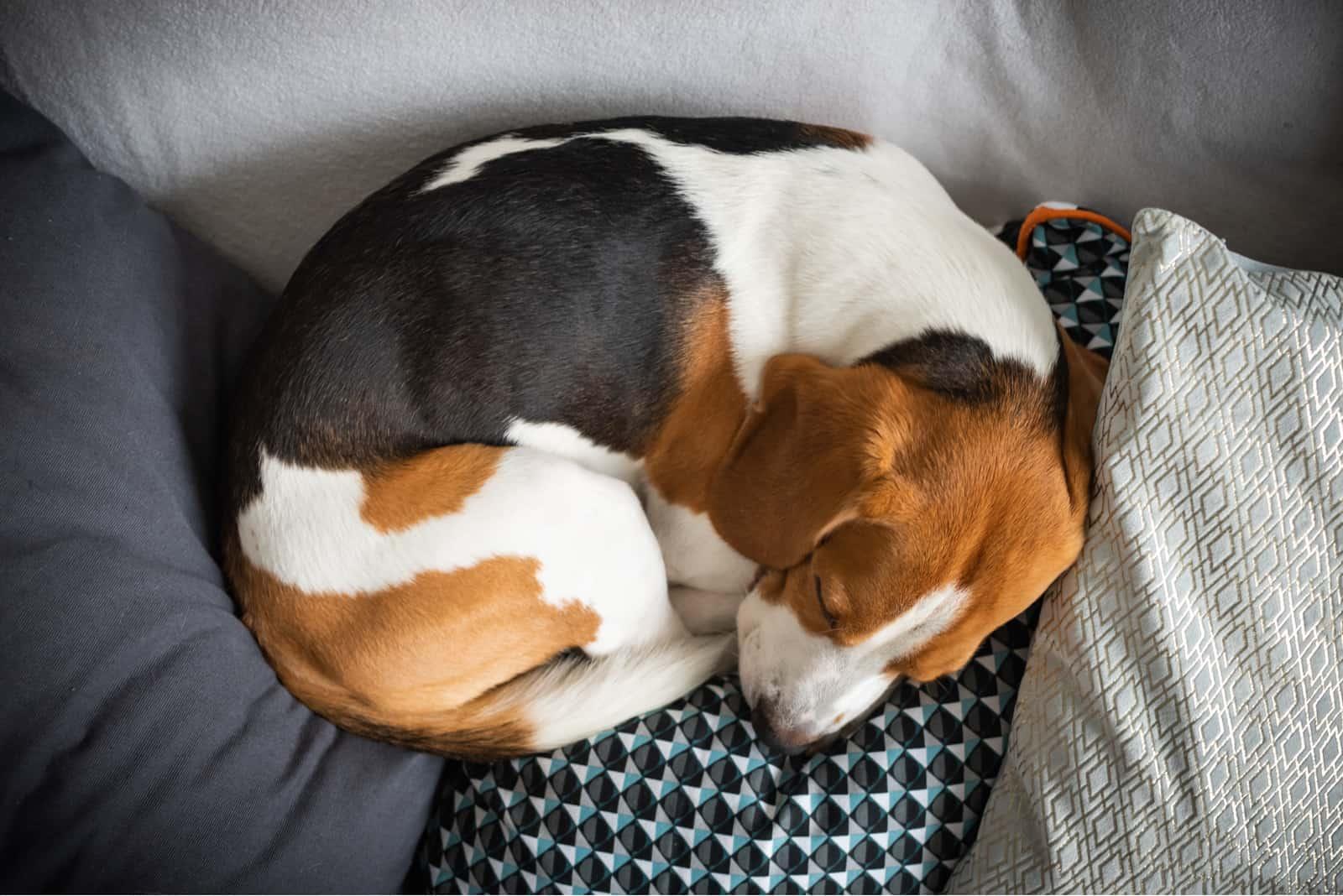 Schlafender Beagle auf dem Sofa im Wohnzimmer