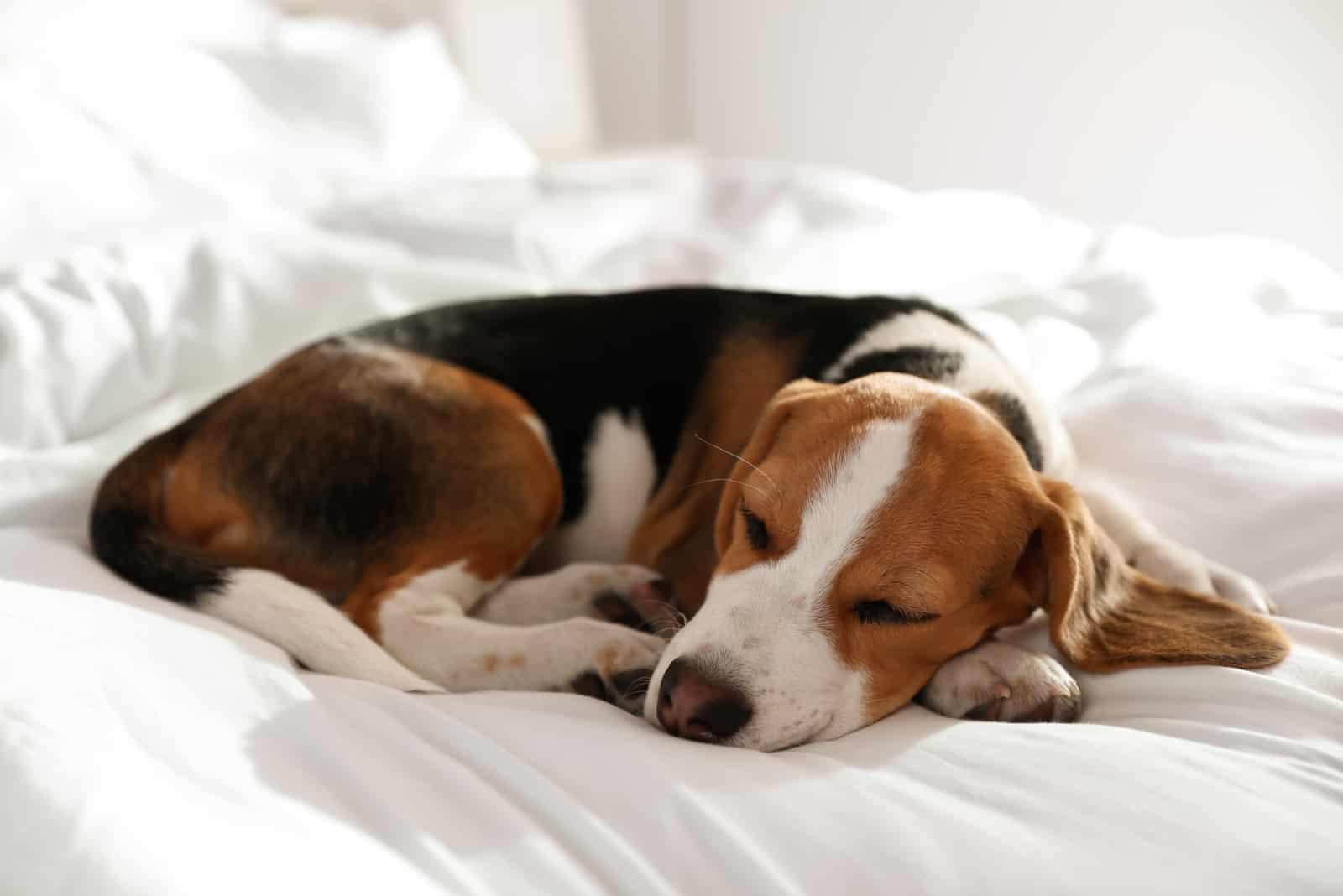 Schlafender Beagle zu Hause