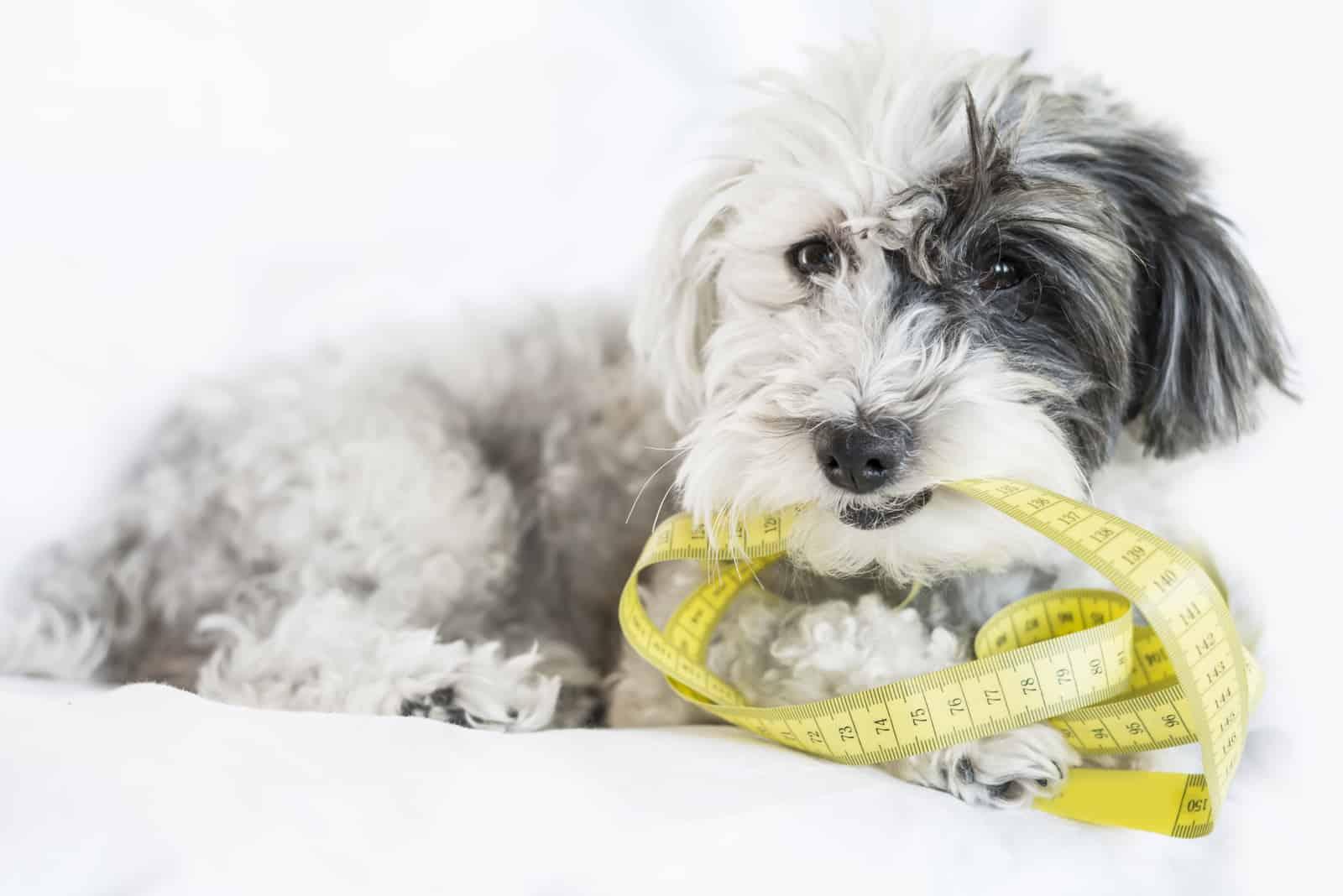 gesunder hungriger Pudelhund beißt gelbes Maßband
