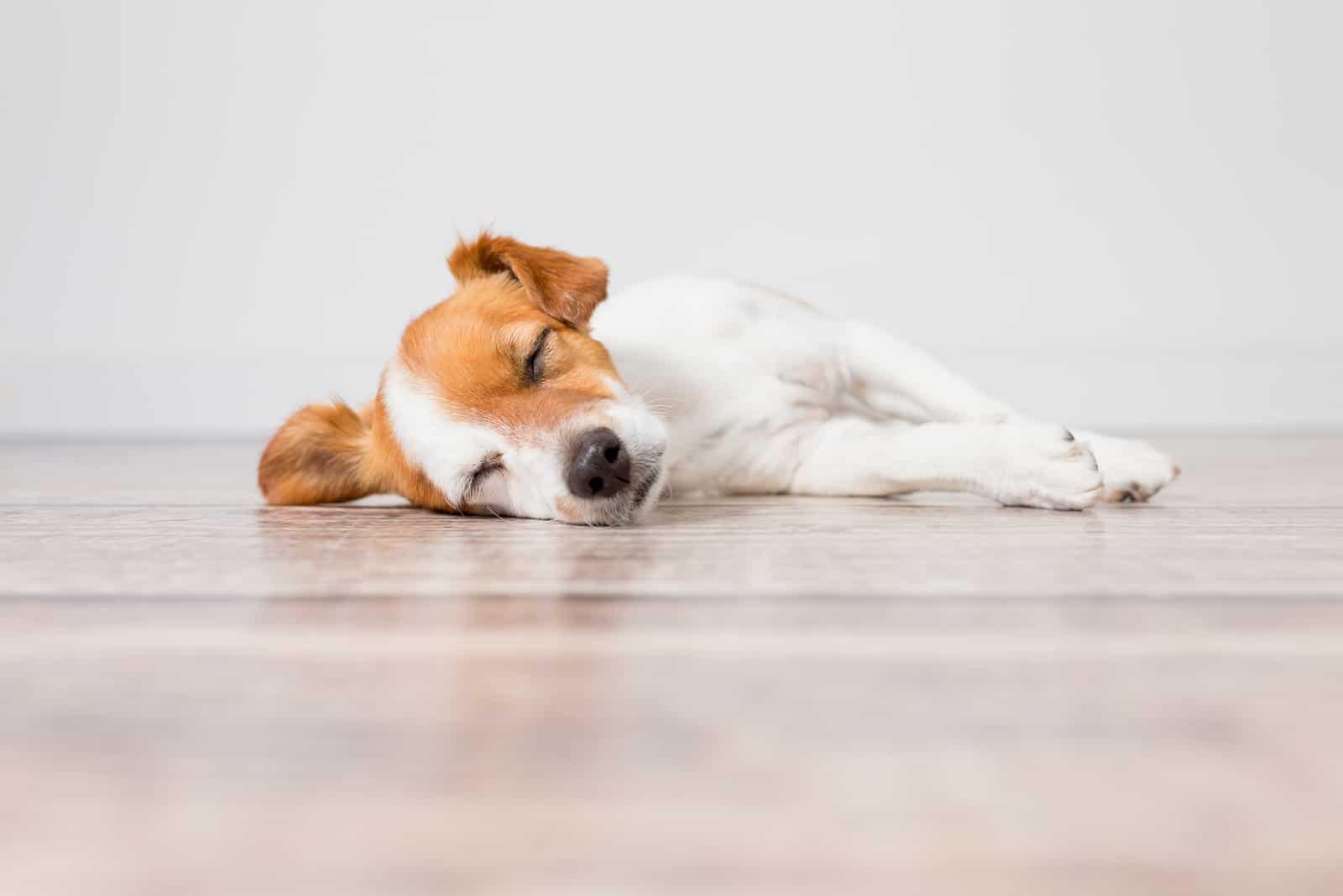 süßer kleiner Hund liegt auf dem Boden und schläft