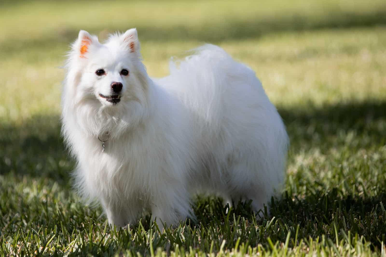 Amerikanischer Eskimo Weißer Hund im Freien