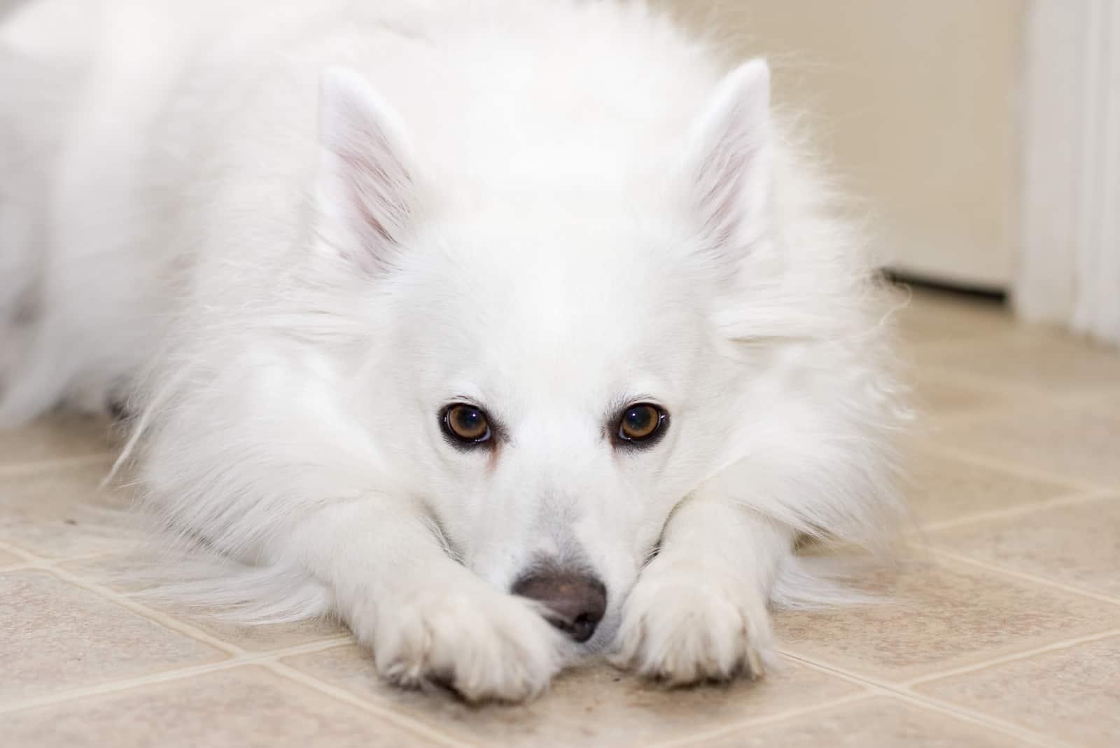 Amerikanischer Eskimohund liegt auf dem Boden