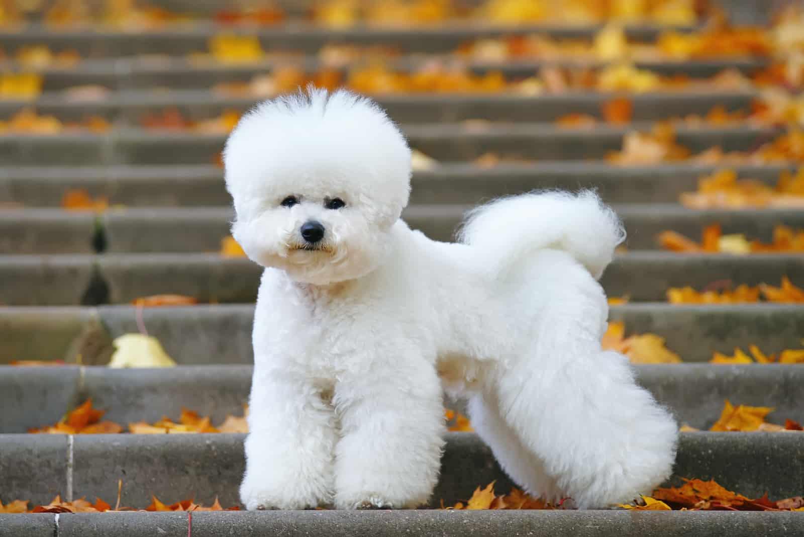 Bichon Frise Hund mit stylischem Haarschnitt steht auf der Treppe