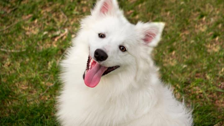 Der American Eskimo Hund: Rasseportrait