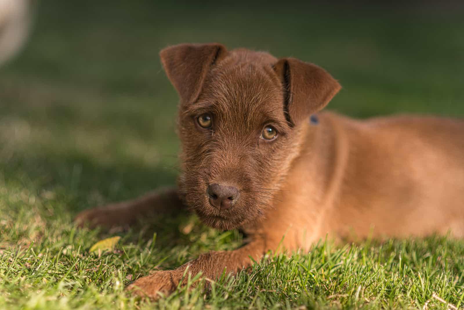 Ein Patterdale Terrier Welpe auf dem Gras