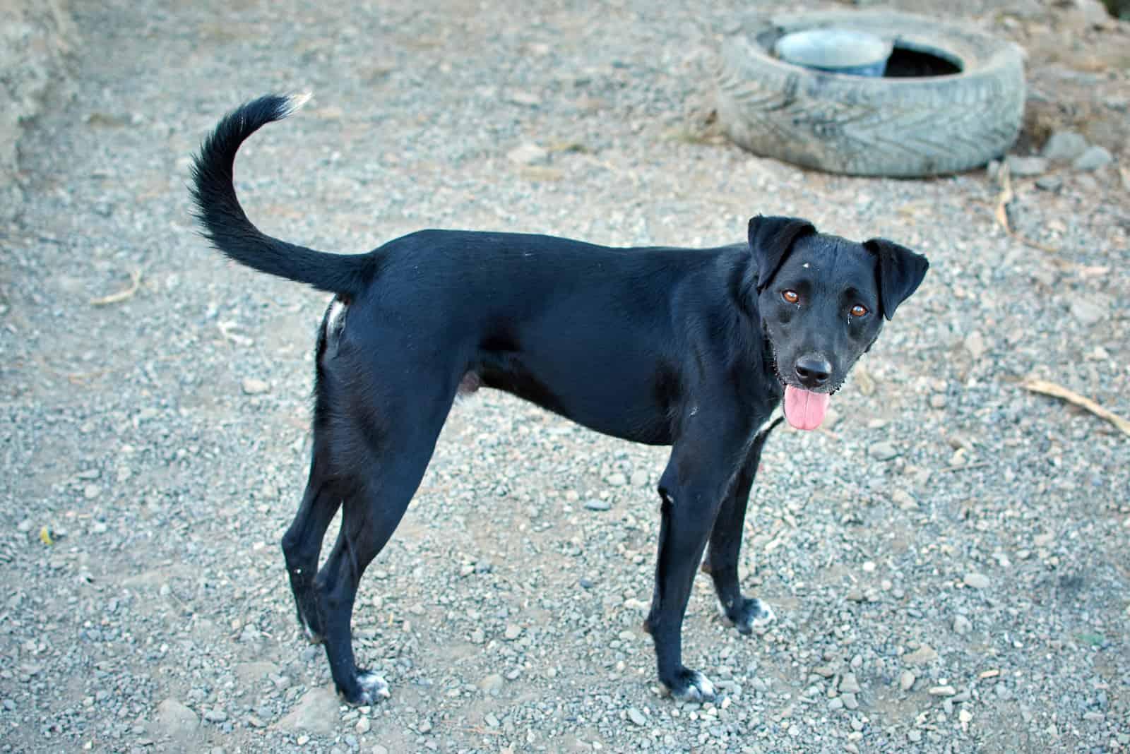 Ein süßer schwarzer Patterdale Terrier Hund, der auf dem Asphaltboden steht asphalt