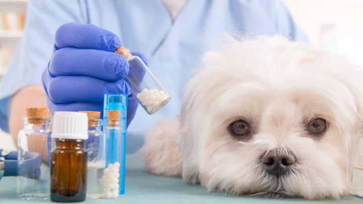 Tierarzt hält homöopathische Globuli für einen kleinen Malteser