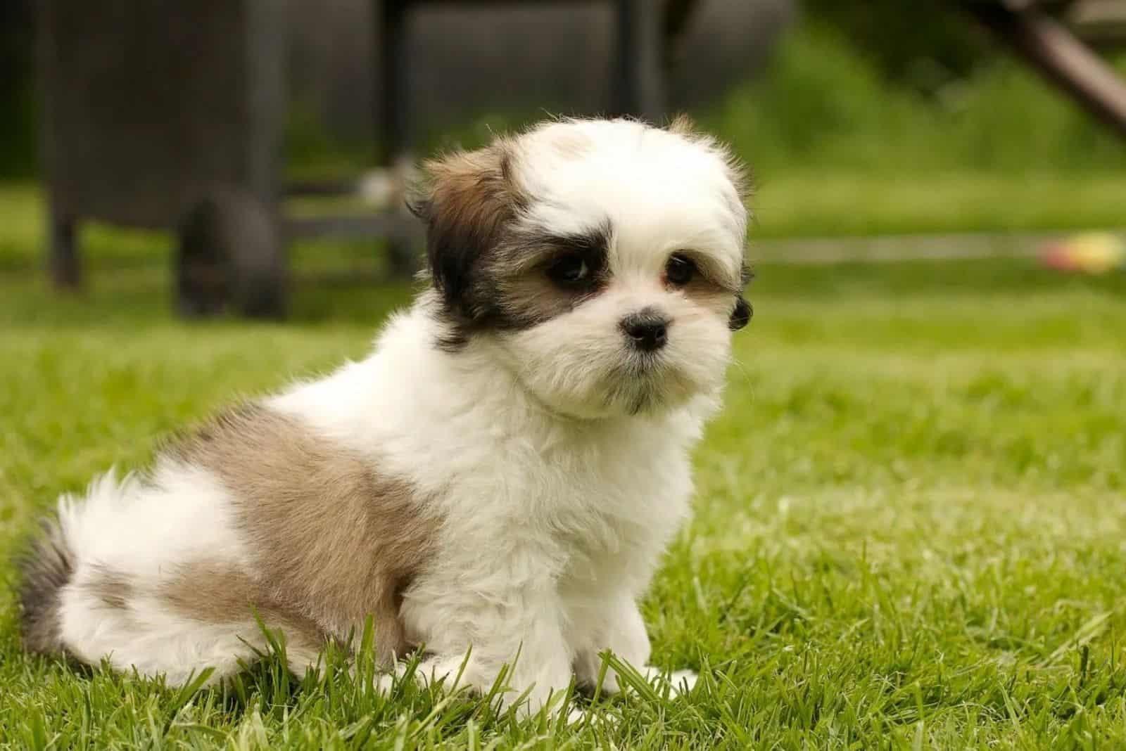 Kyi Leo Hund im Gras