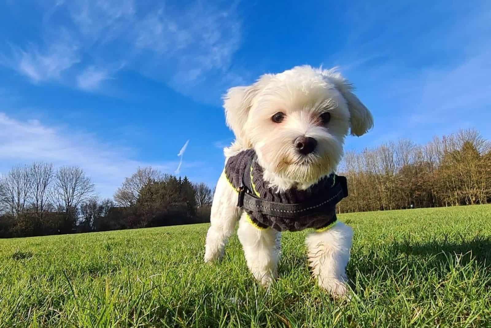 Kyi Leo Hund spielt in der Natur