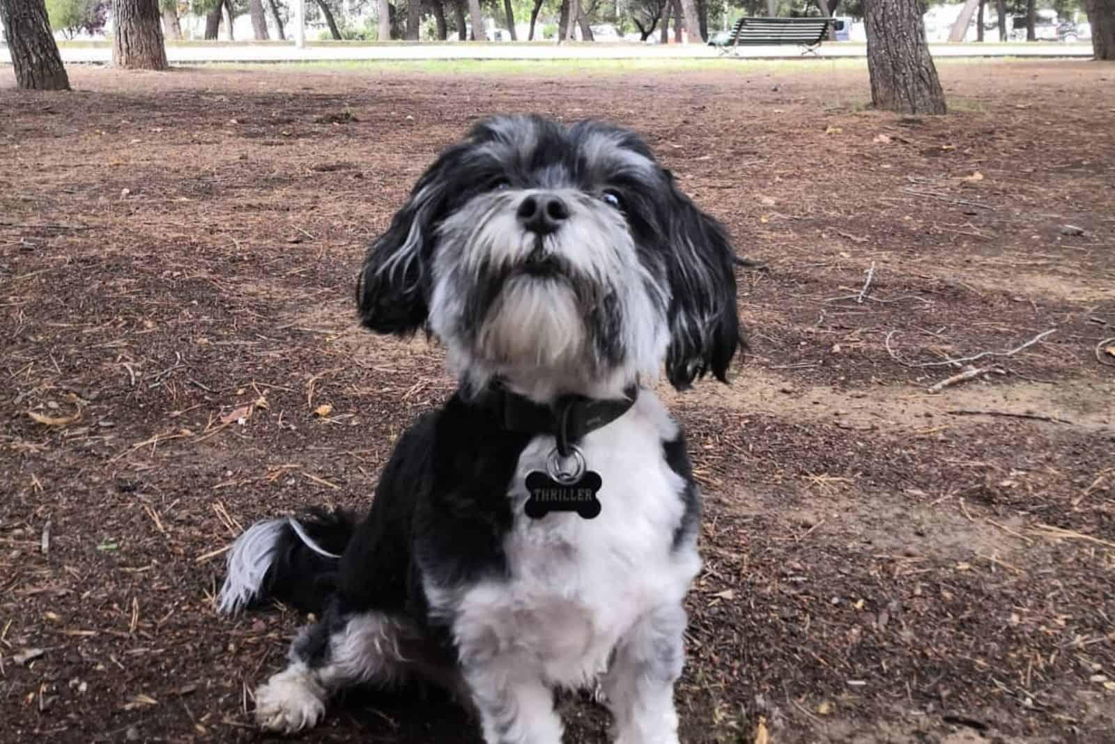 Kyi Leo Hund spielt in park