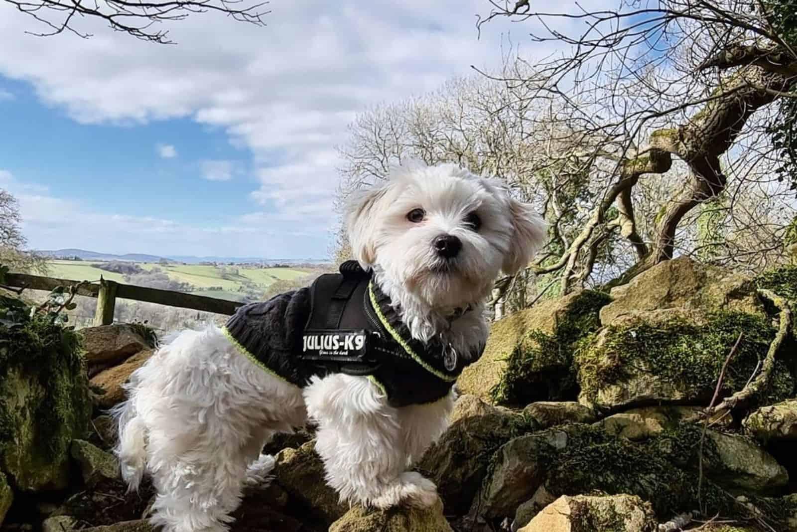 Kyi Leo hund in der natur