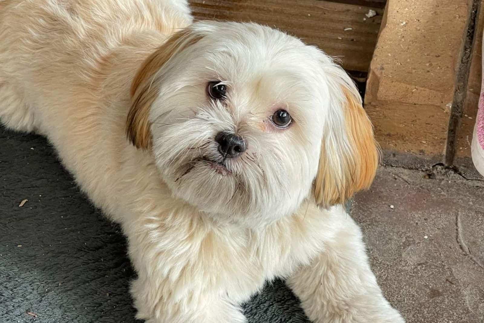 Kyi Leo hund