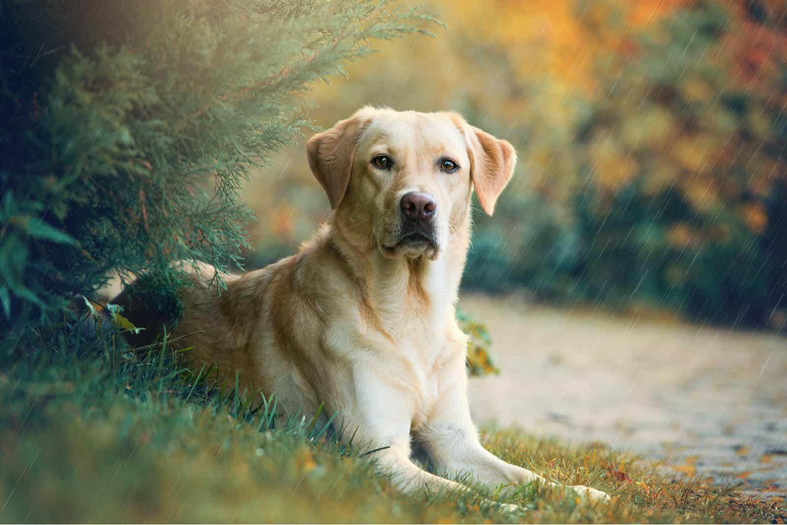 Labrador Retriever Hund liegt unter einem Baum