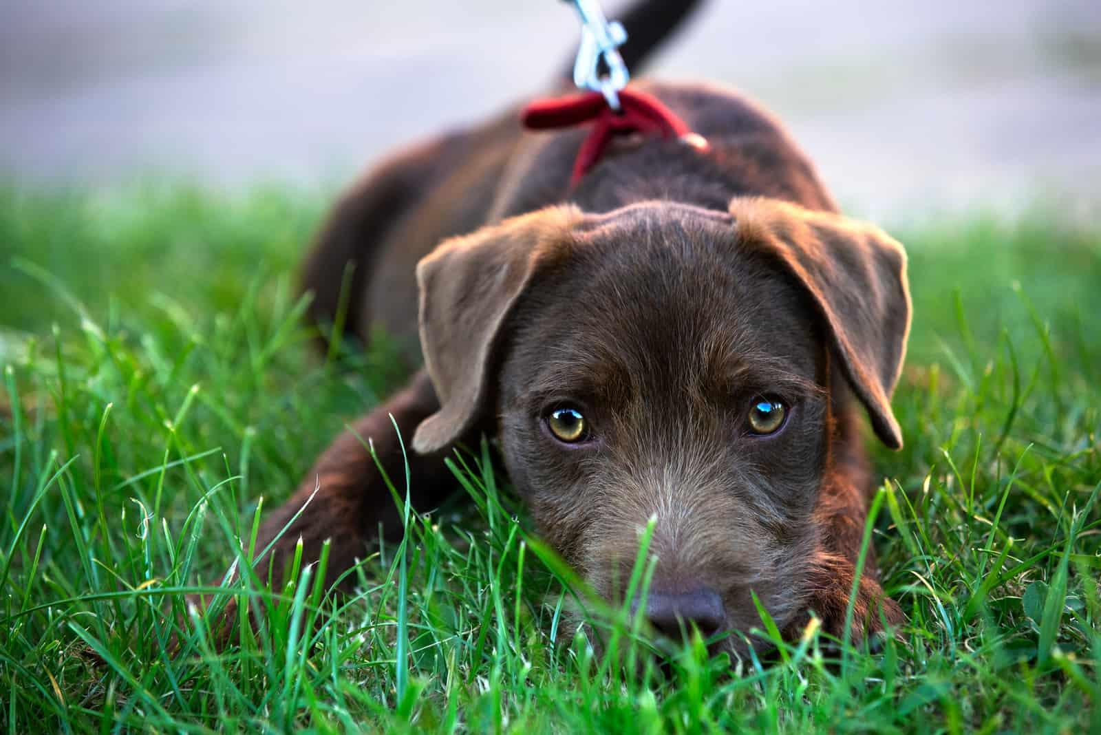 Netter Patterdale Terrier Hundewelpe, der auf Gras liegt