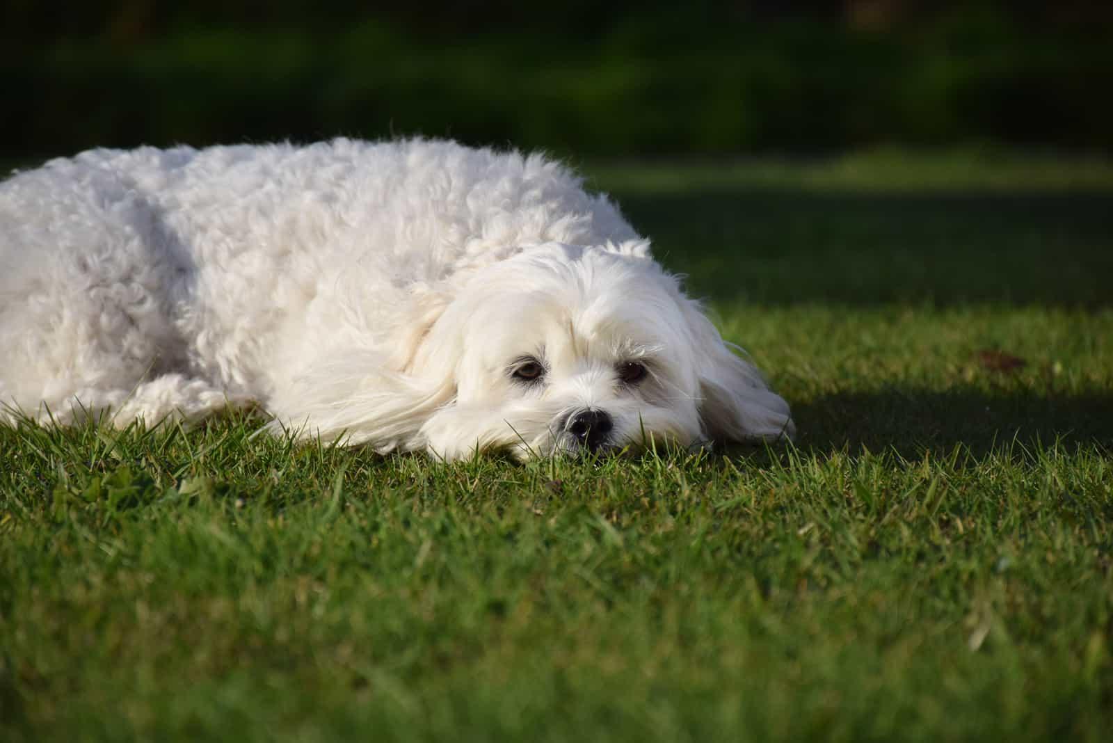 Netter weißer Bichon Frise Hund, der im grünen Gras liegt